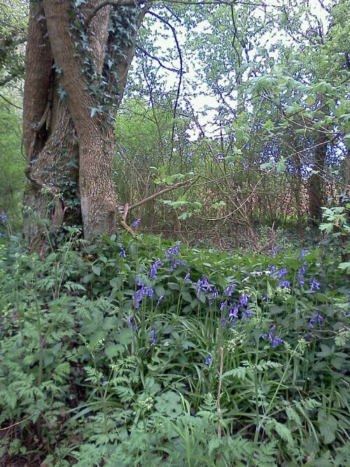 A few bluebells