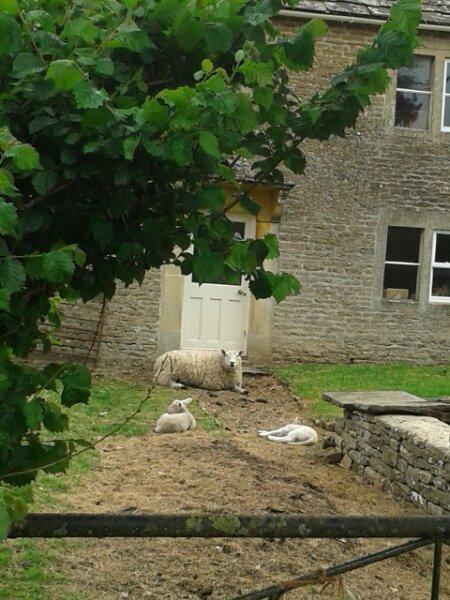 Pampered sheep