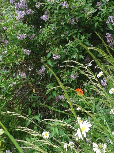 Flowery Verge
